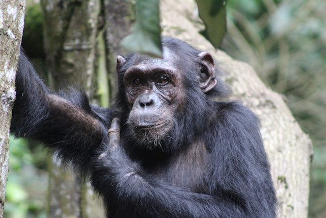 chimpanzee-in-kibale-forest