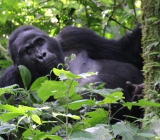 5 Facts about Mountain Gorillas