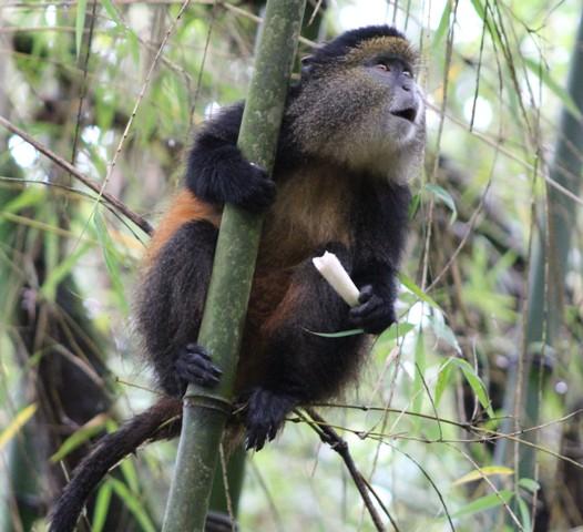 4 Days Uganda Golden Monkey and Batwa Trail Safari