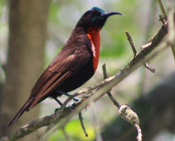 One Day Uganda Birding Safaris