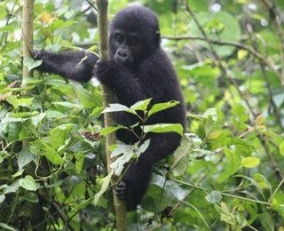 Gorilla Habituation Experience in Bwindi National park Uganda