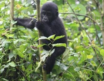 Gorilla Habituation Experience in Bwindi National park Uganda