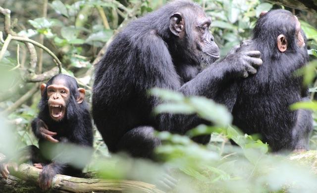 chimpanzee-trekking-uganda