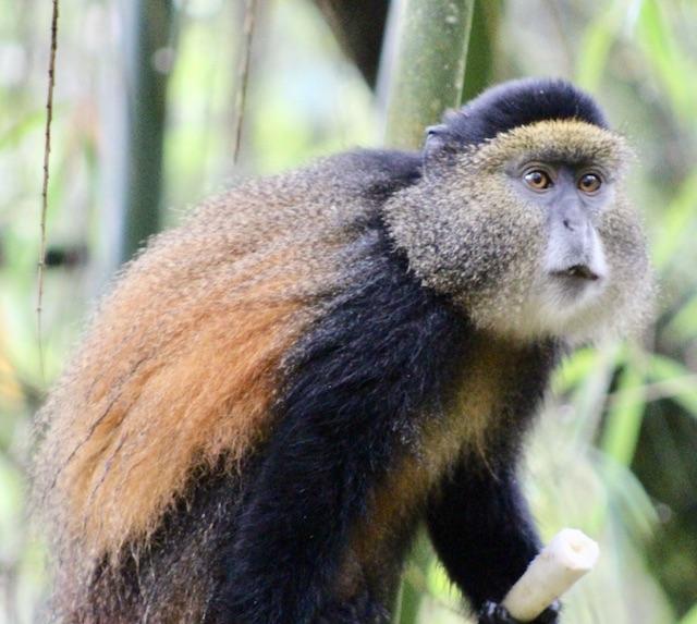 uganda-golden-monkey-trekking