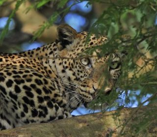 5 Facts about Leopards