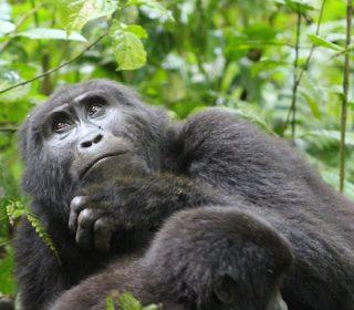 Gorilla Families in Uganda's Bwindi Impenetrable National Park