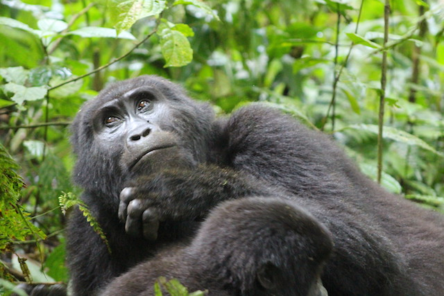 Gorilla Families in Uganda's Bwindi Impenetrable National Park