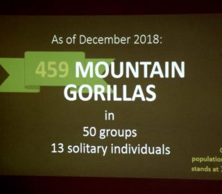 Mountain Gorilla population census shows increase in numbers