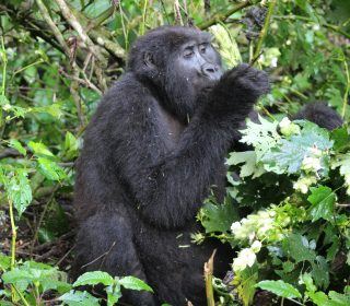 Uganda Wildlife Authority reduces Gorilla trekking fees