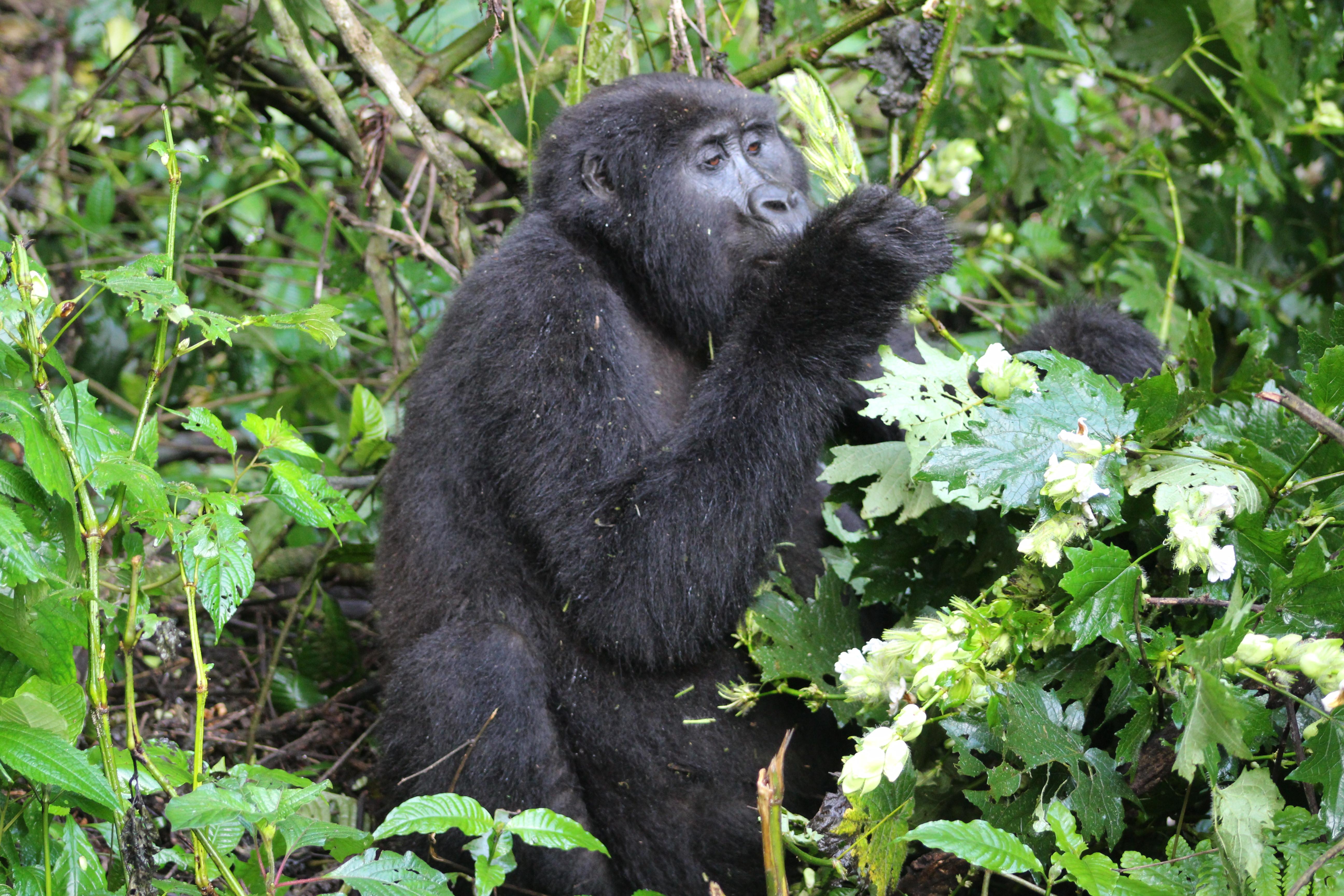 2021 Discounted Uganda Gorilla trekking permit fees