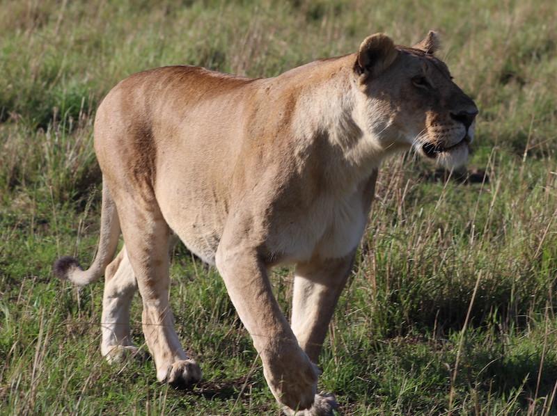 Lion in Masai safari Kenya